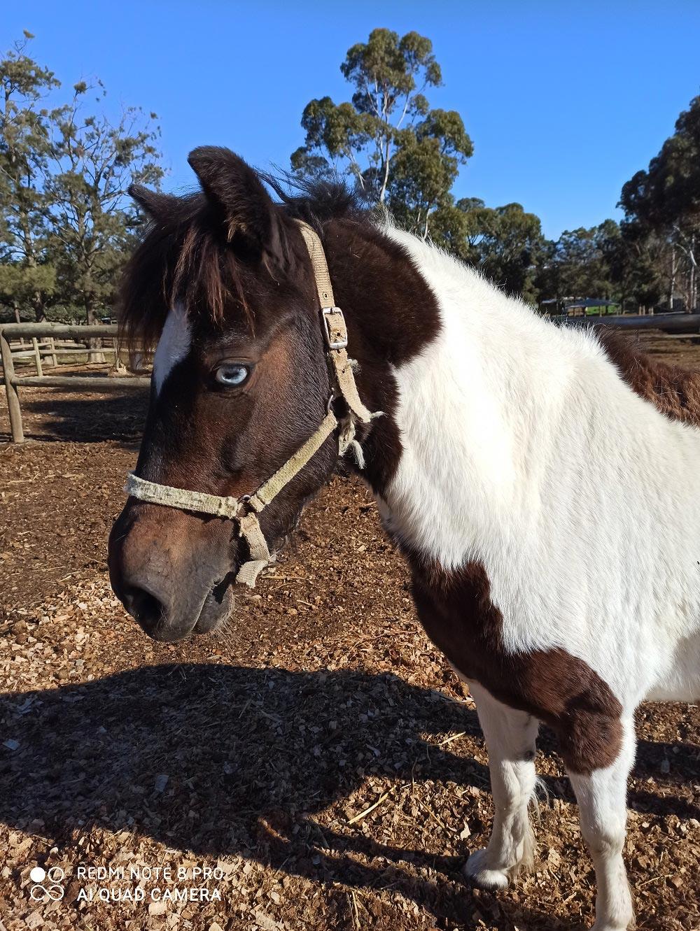 Daisy May CHPA Adopt a Horse
